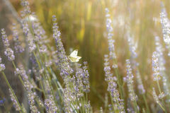 Brassicae do Pieris, o grande branco, também borboleta de couve Fotos de Stock Royalty Free