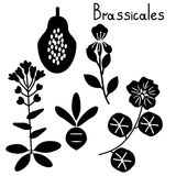 Brassicales plant order Stock Images