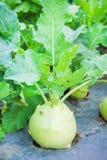 BrassicaoleraceaGongylodes grupp i den organiska grönsaklantgården, naturlig modellbakgrund arkivbilder