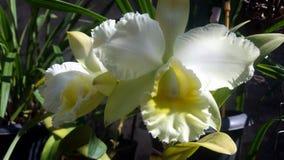 Brassocattleya ποιμενικό ` Ave Μαρία ` Στοκ Φωτογραφίες