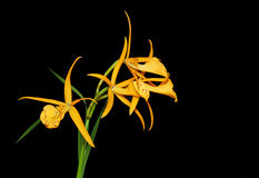 Brassolaelia Yellow Bird Orchid Royalty Free Stock Photo