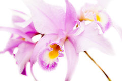 Brassolaeliocattleya orchid Stock Images
