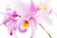 Brassolaeliocattleya orkidé Arkivbilder