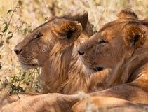 brata lwów samiec dwa potomstwa Fotografia Stock