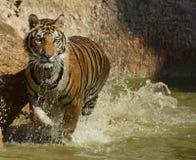 Bratenfett Bengal Tiger Splashing Through das Wasser Stockfotos