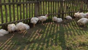 Brathühnchen und schwarze Henne nahe Zaun suchen nach Lebensmittel im Bauernhof stock footage