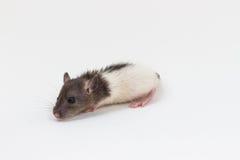 Brattleboro rat , Lab Rat Stock Image