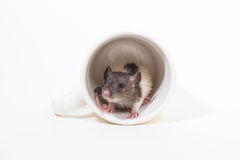 Brattleboro rat , Lab Rat Royalty Free Stock Photography