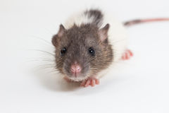 Brattleboro rat , Lab Rat Stock Photos
