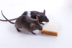 Brattleboro rat, Lab Rat Stock Photography