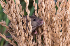 Brattleboro rat, mouse in the rice plant Stock Photography