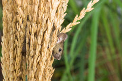 Brattleboro rat, mouse in the rice plant Royalty Free Stock Image