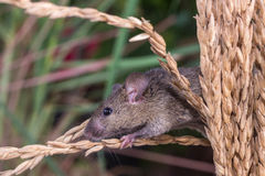 Brattleboro rat, mouse in the rice plant Royalty Free Stock Images