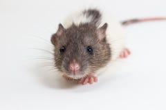 Brattleboro-Ratte, Laborratte Stockfotos