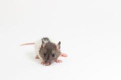 Brattleboro-Ratte, Laborratte Stockbild