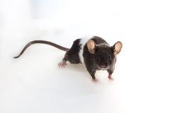 Brattleboro-Ratte, Laborratte Stockfoto