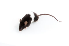 Brattleboro-Ratte, Laborratte Lizenzfreie Stockfotos