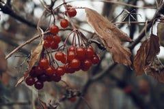 braun ветви дерева ягоды калины красное выходит осень Стоковая Фотография RF