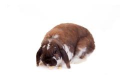 Braun mit Hängeohren beschmutztes Kaninchen Lizenzfreie Stockbilder