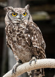 Braun owl on a roap. Peeping owl on a roap with a ring. Strigiformes Royalty Free Stock Photos