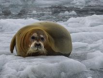 Braun seal laying on floating ice, Spitsbergen, Arctic. stock photography