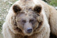 Braunbär Lizenzfreies Stockfoto