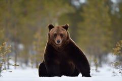Braunbär, der auf Schnee sitzt Stockbild