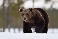 Braunbär, der durch einen starken Schnee geht Stockfoto