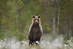 Braunbär, der in einem Sumpf steht Stockbild