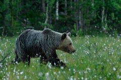 Braunbär, der in einen finnischen Sumpf geht Stockfotografie