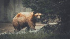 Braunbär, der hinter einem Baum lauert stockfotos