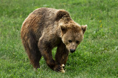 Braunbär, der im Wald isst Stockfoto
