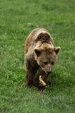 Braunbär, der im Wald isst Lizenzfreie Stockfotografie