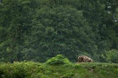 Braunbär, der im Wald sitzt Stockbilder