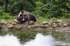 Braunbär, der nahe einem See sitzt Stockfotografie