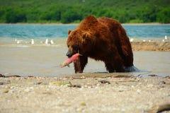 Braunbär, der wilde Lachse isst Lizenzfreie Stockfotos