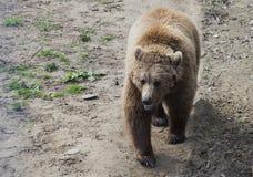 Braunbär in Domazhyr trägt Schongebiet, Lemberg, Ukraine Stockfotos