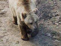 Braunbär in Domazhyr trägt Schongebiet, Lemberg, Ukraine Lizenzfreies Stockbild
