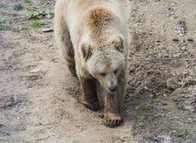 Braunbär in Domazhyr trägt Schongebiet, Lemberg, Ukraine Lizenzfreie Stockfotografie