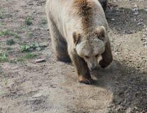 Braunbär in Domazhyr trägt Schongebiet, Lemberg, Ukraine Lizenzfreies Stockfoto
