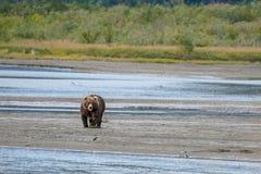 Braunbär geht Flussbank Lizenzfreies Stockfoto