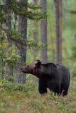 Braunbär im Wald Stockbilder