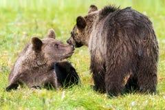 Braunbär mit Jungem in der Sommerzeit Lizenzfreies Stockbild