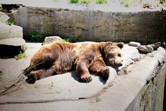 Braunbär sucht nach einem passenden Platz, in dem es kein heißes Sonnenlicht gibt stockbild