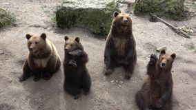 Braunbären stock footage