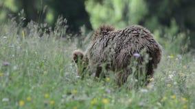 Braunbären, Siebenbürgen, Rumänien stock footage