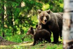 Braunbärfamilie im Wald lizenzfreie stockfotos