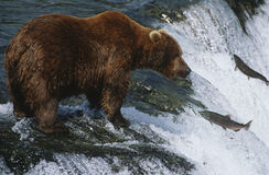Braunbärgrizzlybär, der Lachs-Nationalpark Alaska USA Katmai betrachtet.  Stockbilder
