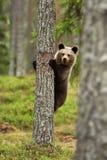 Braunbärjunges auf einem Baum Lizenzfreie Stockfotos