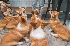 7 braune Corgihunde lizenzfreie stockfotos